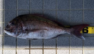 2.64kg真鯛