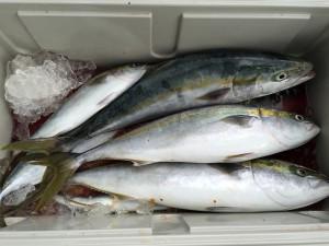ワラサ&イナダ釣果