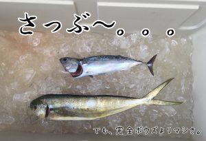 さぶい釣果(シイラ&マルソウダカツオ)